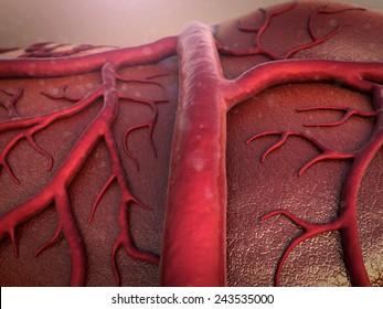 circulatory system, Capillary, Cardio-vascular