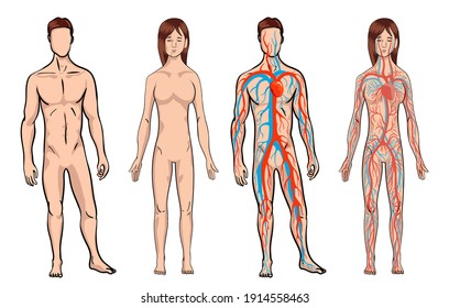 Circulatory system. Medical illustration anatomy of human body system. Male and woman circulatory system set on a white background. Body vitality. illustration