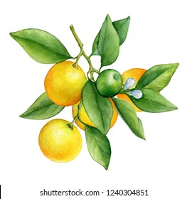 Citrus fruit round cumquat (also called Marumi or Morgani kumquat) on a branch with orange fruits, flowers and green leaves. Watercolor hand drawn painting illustration isolated on a white background.