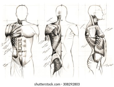 classic black and white pencil drawing of human muscles anatomy