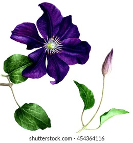 Clematis botanical illustration. Watercolor painting. Isolated on white.