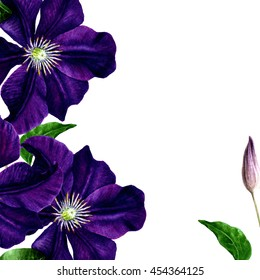 Clematis botanical illustration. Watercolor painting. Isolated on white. Painted Flower Background.