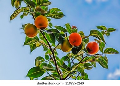 close up fresh persimmon fruits on tree branches in nature