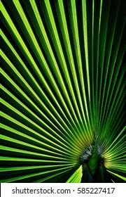 Close up of a green fan shaped Palm leaf