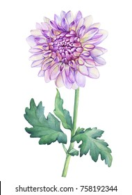 Closeup Beautiful pink Dahlia flower. Watercolor hand drawn painting illustration isolated on white background.
