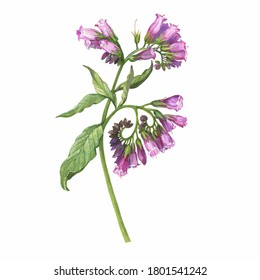 Closeup of a branch of the blue comfrey flowers (known as Symphytum caucasicum, beinwell, Caucasian comfrey). Watercolor hand drawn painting illustration isolated on white background.