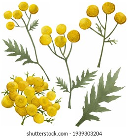 Closeup of a branch of the Tansy (Tanacetum vulgare, Common Tansy) - medicinal herb flower. Set of leaves and flowers of common tansy on a white background. Tansy, plant parts set isolated on white.