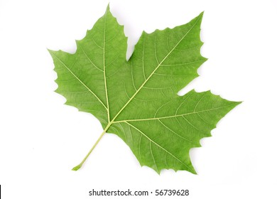 Close-up of a London plane (Platanus acerifolia) leaf. See my portfolio, TreePhoto for more