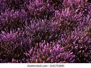 Close-up on a lavender field at sunset. 3d illustration