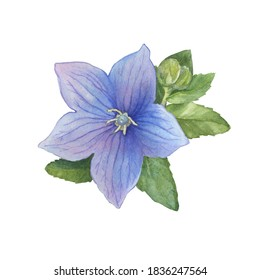 Closeup of a violet flower ballon blume (Platycodon, balloon flower, Chinese bellflower, bluebells, Campanula). Watercolor hand drawn painting illustration isolated on white background.