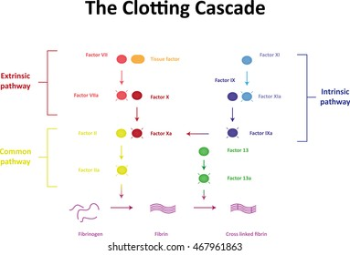 The Clotting Cascade Labeled Diagram