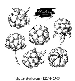 Cloudberry drawing. Organic berry food sketch. Vintage engraved illustration of superfood. Hand drawn icon for label, poster, packaging design.