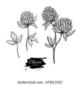 Clover flower drawing set. Isolated wild plant and leaves. Herbal engraved style illustration. Detailed botanical sketch