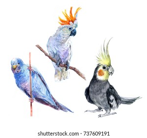 Cockatoo parrot, blue parrot, budgerigars. Parrots.  Watercolor illustration isolated on white background.