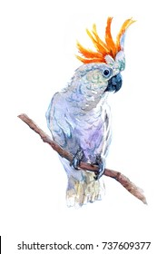Cockatoo parrot. Watercolor illustration isolated on white background.