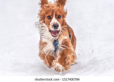 Cocker Spaniel dog pet running in the snow. The cute adorable animal has a beautiful brown and white fur.