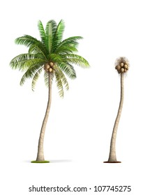 Coconut Palm Tree. High resolution image isolated on white. More trees are available on our portfolio.