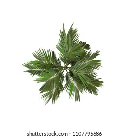 Coconut palm tree overhead view isolated on white. 3D Rendering
