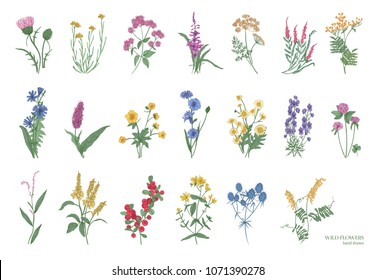 Collection of beautiful wild herbs, herbaceous flowering plants, blooming flowers, shrubs and subshrubs isolated on white background. Hand drawn detailed botanical illustration.
