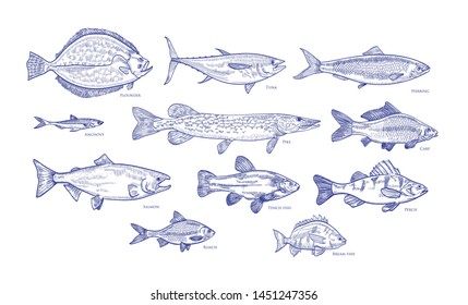 Collection of fish hand drawn with blue contour lines on white background. Bundle underwater animals or creatures living in sea and ocean. Monochrome illustration in vintage etching style.
