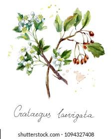 Collection herb. Hawthorn. Water color hand drawn illustration. Botanical illustration