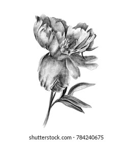 A collection of peonies, closeup on white background. Pencil drawing, a full-blown peony