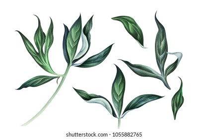 Collection of peony leaves isolated on white background. Hand drawn watercolor illustration.