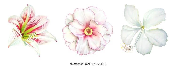 Collection of realistic watercolor botanical illustrations of the amaryllis, peony and hibiscus white flowers isolated on white background.