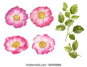 Collection set of rose flowers and leaves by watercolor painting on isolate backgrounds.