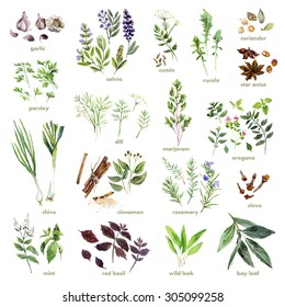 Collection of watercolor hand drawn herb branch isolated on white background. Good for book illustration, magazine or journal article.