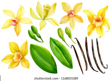 collection of watercolor illustrations: flowers, buds and vanilla sticks