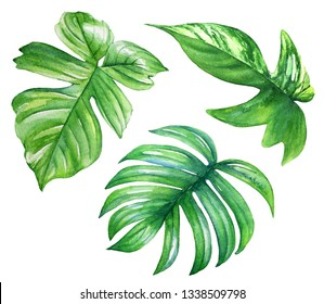 Collection of watercolor philodendron leaves. Realistic drawing of tropical plants.