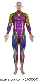 Color highlighted muscles anterior view
