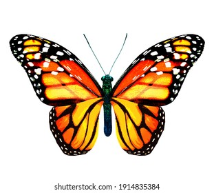 Color monarch butterfly , isolated on the white background