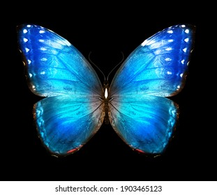 Color Morpho butterfly , isolated on the black background