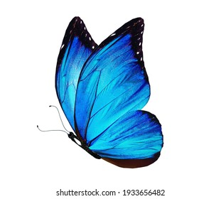 Color Morpho butterfly , isolated on the white background