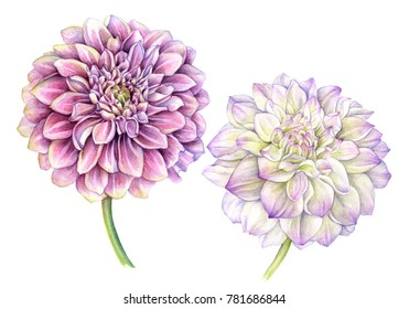 Colored dahlia flowers Isolated on white background. Watercolor illustration