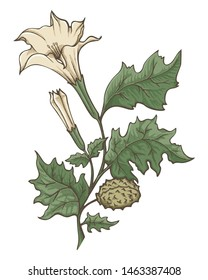Colored ink sketch of Datura stramonium. Flowers, leaves and ripe fruit. Pointillism shading technique.