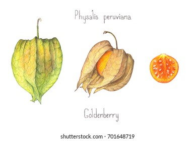Colored pencil drawing of Physalis peruviana fruit