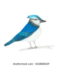 Colored pencil drawing, sketch, illustration of blue jay bird isolated on white background.
