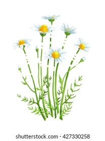 Colorful illustration of chamomile bouquet on white isolated background. Medical herb daisy for your bright design in watercolour hand-drawn style.