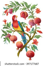 Colorful  parrot on pomegranate tree with flowers and fruits. Isolated on white background
