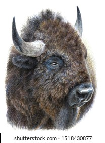 Colorful portrait of a bison, buffalo. Drawing with watercolor pencils