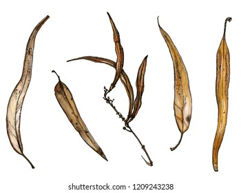 Colorful set of dry eucalyptus leaves and branch with brown pods. Autumn elements isolated on white