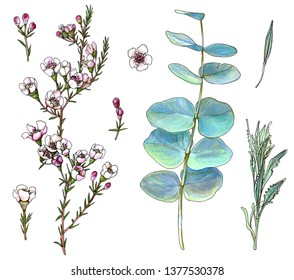 Colorful set of waxflower, silver-leaf stringybark and lavender leaves. Hand drawn flowering plants with flowers, buds and leaves. Botanical sketch of ornamental plants