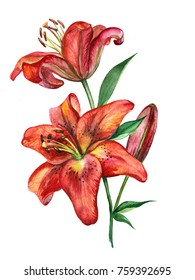Colorful watercolor texture of a red lily flower on a white background