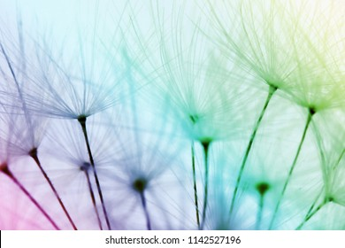 Colorfull dandelion seeds - awasome nature background - yellow, green, blue, purple