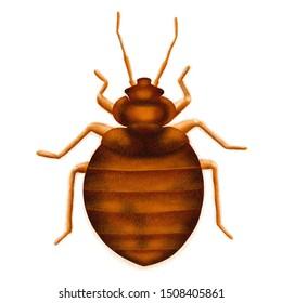 Common Bedbug Cimex lectularius. Bed bug, drawn illustration, isolated on white