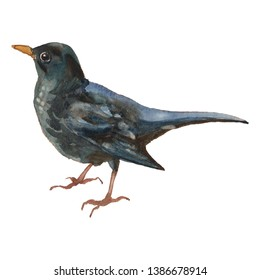 The common blackbird. Hand painted, isolated on white background watercolor drawing of bird.