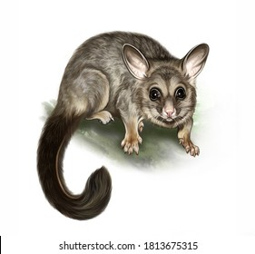 The common brushtail possum (Trichosurus) on a branch, realistic drawing, illustration for the animal encyclopedia of Australia, New Zealand, Tasmania, isolated image on a white background